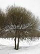 Посадка крупномеров Ивы ломкой (Salix x fragilis) - 208