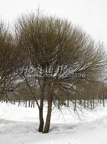 Ива ломкая: лиственный крупномер