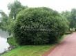 Посадка крупномеров Ивы ломкой (Salix x fragilis) - 209