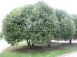 Посадка крупномеров Ивы ломкой (Salix x fragilis) - 210