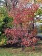 Посадка крупномеров Клена гиннала (Клена приречного, Клена татарского подвида гиннала) (Acer ginnala) (Acer tataricum subsp. ginnala) - 201