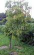 Посадка крупномеров Клена гиннала (Клена приречного, Клена татарского подвида гиннала) (Acer ginnala) (Acer tataricum subsp. ginnala) - 202