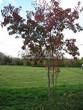 Посадка крупномеров Клена гиннала (Клена приречного, Клена татарского подвида гиннала) (Acer ginnala) (Acer tataricum subsp. ginnala) - 204