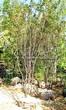 Посадка крупномеров Клена гиннала (Клена приречного, Клена татарского подвида гиннала) (Acer ginnala) (Acer tataricum subsp. ginnala) - 205