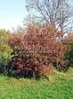 Посадка крупномеров Клена гиннала (Клена приречного, Клена татарского подвида гиннала) (Acer ginnala) (Acer tataricum subsp. ginnala) - 206