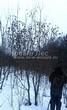 Посадка крупномеров Клена гиннала (Клена приречного, Клена татарского подвида гиннала) (Acer ginnala) (Acer tataricum subsp. ginnala) - 207
