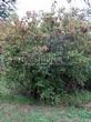 Посадка крупномеров Клена гиннала (Клена приречного, Клена татарского подвида гиннала) (Acer ginnala) (Acer tataricum subsp. ginnala) - 208