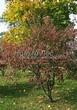 Посадка крупномеров Клена гиннала (Клена приречного, Клена татарского подвида гиннала) (Acer ginnala) (Acer tataricum subsp. ginnala) - 209