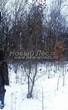 Посадка крупномеров Клена гиннала (Клена приречного, Клена татарского подвида гиннала) (Acer ginnala) (Acer tataricum subsp. ginnala) - 210