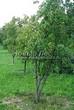 Посадка крупномеров Клена гиннала (Клена приречного, Клена татарского подвида гиннала) (Acer ginnala) (Acer tataricum subsp. ginnala) - 211