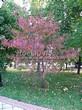 Посадка крупномеров Клена гиннала (Клена приречного, Клена татарского подвида гиннала) (Acer ginnala) (Acer tataricum subsp. ginnala) - 212