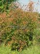 Посадка крупномеров Клена гиннала (Клена приречного, Клена татарского подвида гиннала) (Acer ginnala) (Acer tataricum subsp. ginnala) - 214