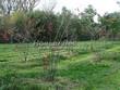 Посадка крупномеров Клена гиннала (Клена приречного, Клена татарского подвида гиннала) (Acer ginnala) (Acer tataricum subsp. ginnala) - 215