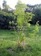 Посадка крупномеров Клена гиннала (Клена приречного, Клена татарского подвида гиннала) (Acer ginnala) (Acer tataricum subsp. ginnala) - 216