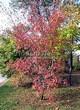 Посадка крупномеров Клена гиннала (Клена приречного, Клена татарского подвида гиннала) (Acer ginnala) (Acer tataricum subsp. ginnala) - 217