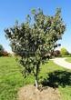 Посадка крупномеров Клена гиннала (Клена приречного, Клена татарского подвида гиннала) (Acer ginnala) (Acer tataricum subsp. ginnala) - 219