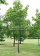 Посадка крупномеров Клена остролистного (Клена платановидного) (Acer platanoides) - 201