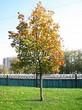 Посадка крупномеров Клена остролистного (Клена платановидного) (Acer platanoides) - 202