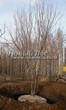 Посадка крупномеров Клена остролистного (Клена платановидного) (Acer platanoides) - 203