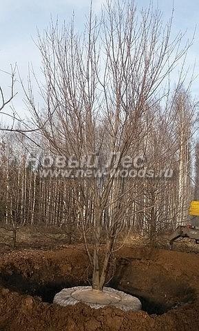 Посадка крупномеров лиственных деревьев Клена остролистного