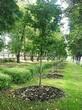 Посадка крупномеров Клена остролистного (Клена платановидного) (Acer platanoides) - 204