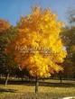 Посадка крупномеров Клена остролистного (Клена платановидного) (Acer platanoides) - 205