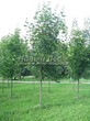 Посадка крупномеров Клена остролистного (Клена платановидного) (Acer platanoides) - 206