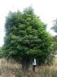 Посадка крупномеров Клена остролистного (Клена платановидного) (Acer platanoides) - 207