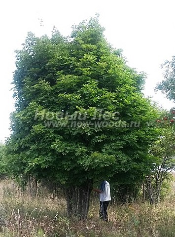 Посадка лиственных крупномеров Клена остролистного