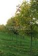 Посадка крупномеров Клена остролистного (Клена платановидного) (Acer platanoides) - 208