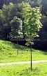 Посадка крупномеров Клена остролистного (Клена платановидного) (Acer platanoides) - 209