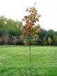 Посадка крупномеров Клена остролистного (Клена платановидного) (Acer platanoides) - 210
