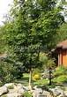 Посадка крупномеров Клена остролистного (Клена платановидного) (Acer platanoides) - 212