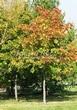 Посадка крупномеров Клена остролистного (Клена платановидного) (Acer platanoides) - 213
