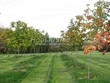 Посадка крупномеров Клена остролистного (Клена платановидного) (Acer platanoides) - 214