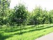 Посадка крупномеров Клена остролистного (Клена платановидного) (Acer platanoides) - 215