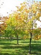 Посадка крупномеров Клена остролистного (Клена платановидного) (Acer platanoides) - 216