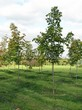 Посадка крупномеров Клена остролистного (Клена платановидного) (Acer platanoides) - 217