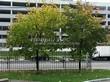Посадка крупномеров Клена остролистного (Клена платановидного) (Acer platanoides) - 218