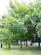 Посадка крупномеров Клена остролистного (Клена платановидного) (Acer platanoides) - 219