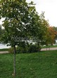 Посадка крупномеров Клена остролистного (Клена платановидного) (Acer platanoides) - 220
