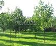 Посадка крупномеров Клена остролистного (Клена платановидного) (Acer platanoides) - 221