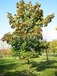 Посадка крупномеров Клена остролистного (Клена платановидного) (Acer platanoides) - 222