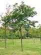 Посадка крупномеров Клена остролистного (Клена платановидного) (Acer platanoides) - 223