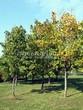 Посадка крупномеров Клена остролистного (Клена платановидного) (Acer platanoides) - 224