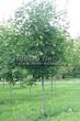 Посадка крупномеров Клена остролистного (Клена платановидного) (Acer platanoides) - 225