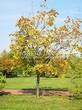 Посадка крупномеров Клена остролистного (Клена платановидного) (Acer platanoides) - 226