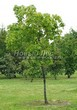 Посадка крупномеров Клена остролистного (Клена платановидного) (Acer platanoides) - 228