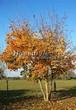 Посадка крупномеров Клена остролистного (Клена платановидного) (Acer platanoides) - 229
