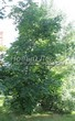 Посадка крупномеров Клена остролистного (Клена платановидного) (Acer platanoides) - 230